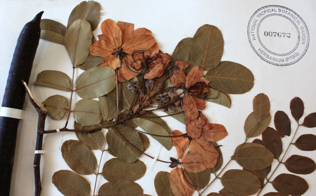 Preserved plant specimen from the NTBG collection