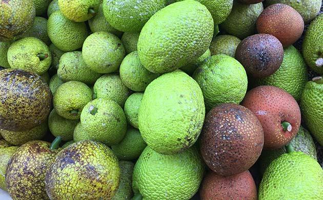 breadfruit fact sheets