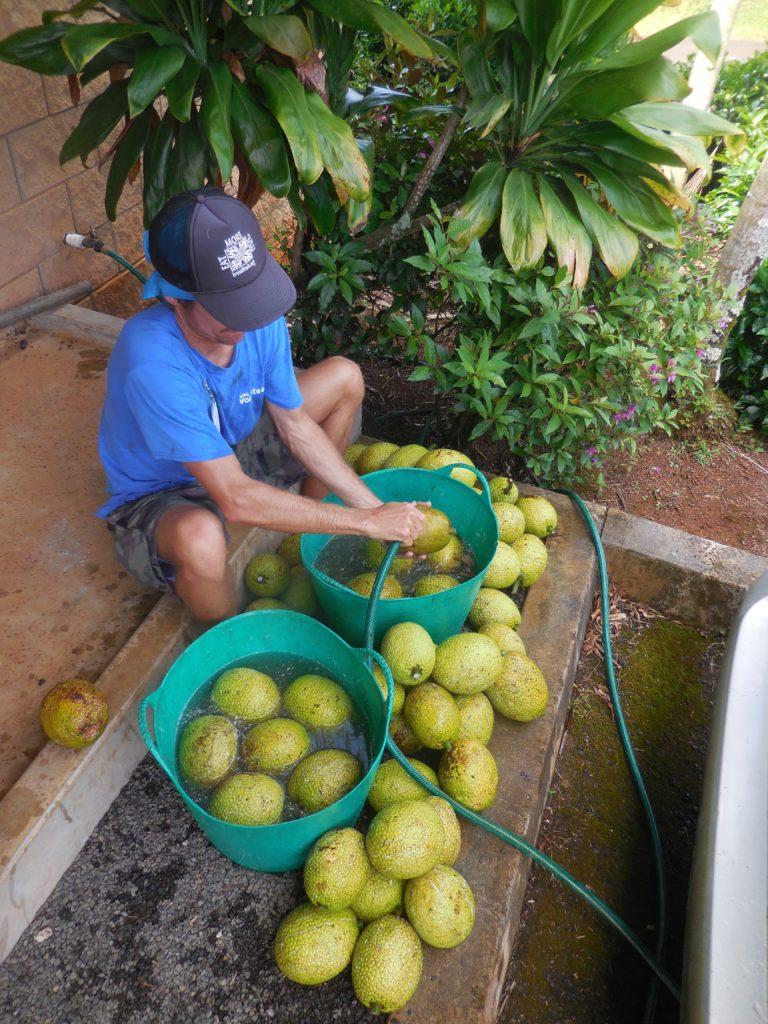 National Volunteer Week spotlight David Hubbard washing a harvest of breadfruit.