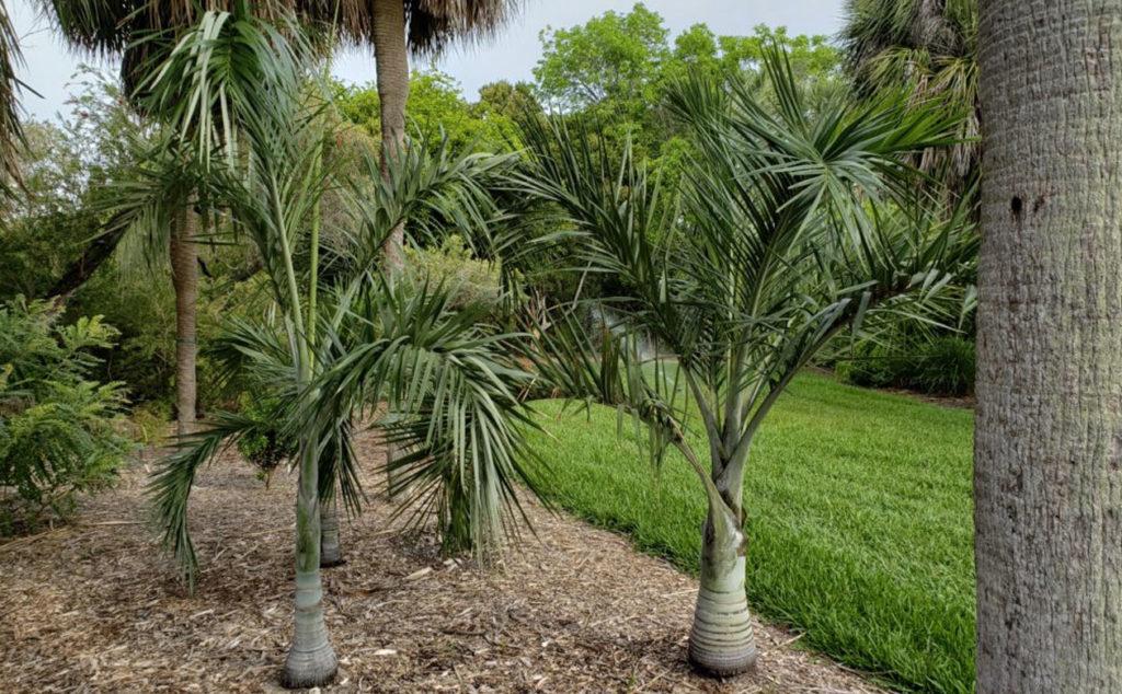 Endangered native Florida Keys Cherry palms (pseudophoenix sargentii