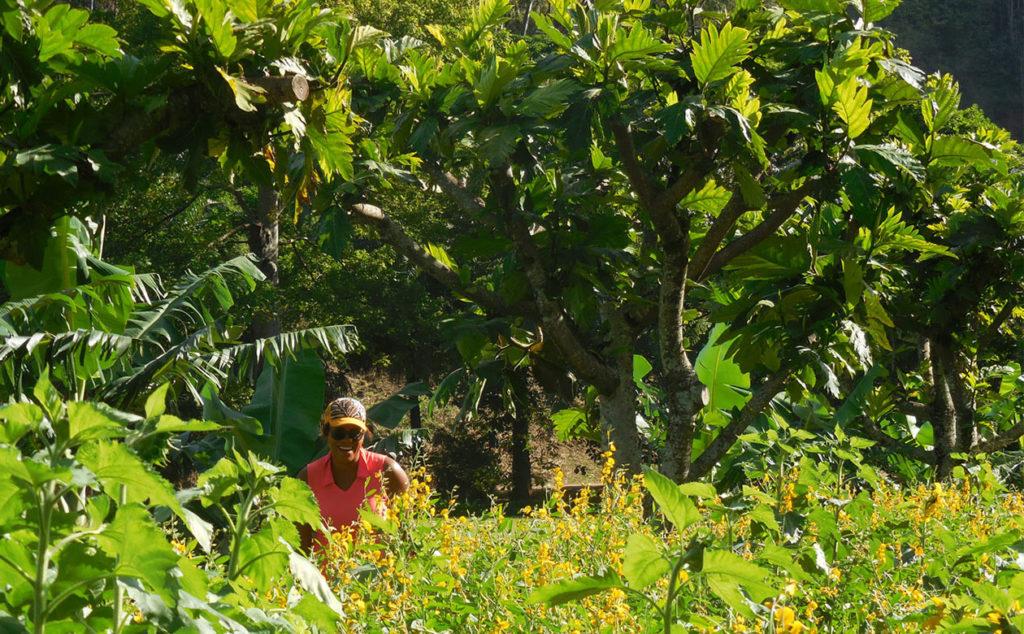 breadfruit agroforestry demonstration