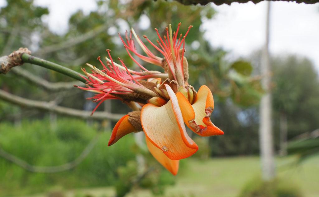 Erythrina sandwicensis