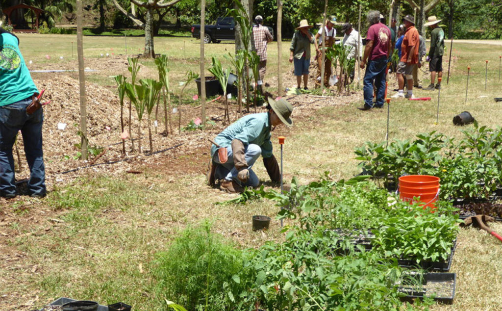 Planting the Regenerative Organic Breadfruit Agroforest understory in MycBryde garden in 2017. 85% of the places around the world where hunger and poverty are most acute, breadfruit can grow. Regenerative Agroforestry ensures farmers can use 100% of their land.