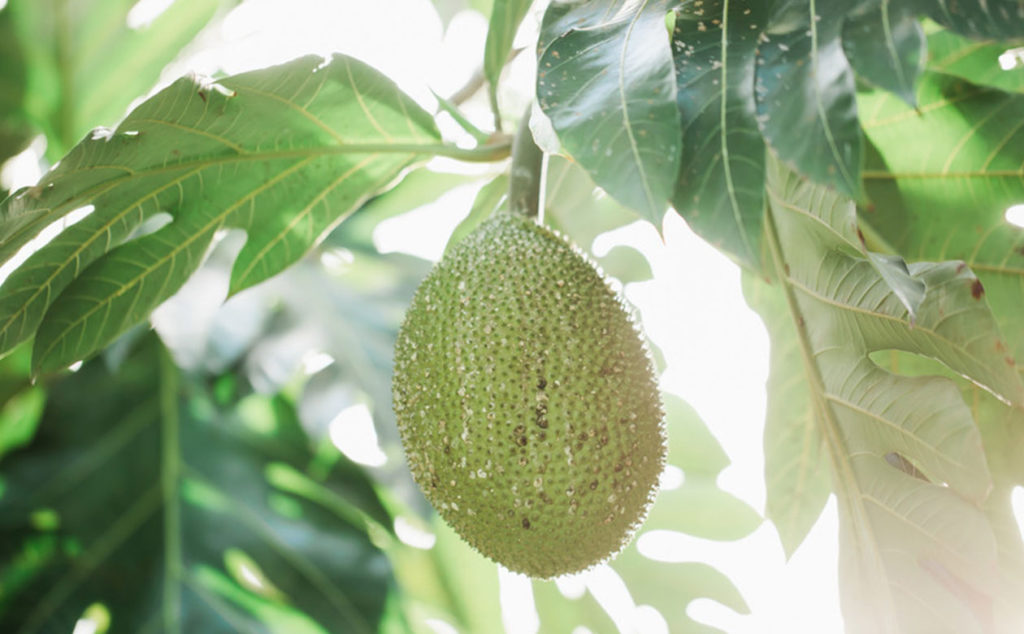 A single breadfruit (ulu) hanging from the tree. Breadfruit trees can produce 300-1200 pounds of food annually for decades making it an important crop for food security worldwide.
