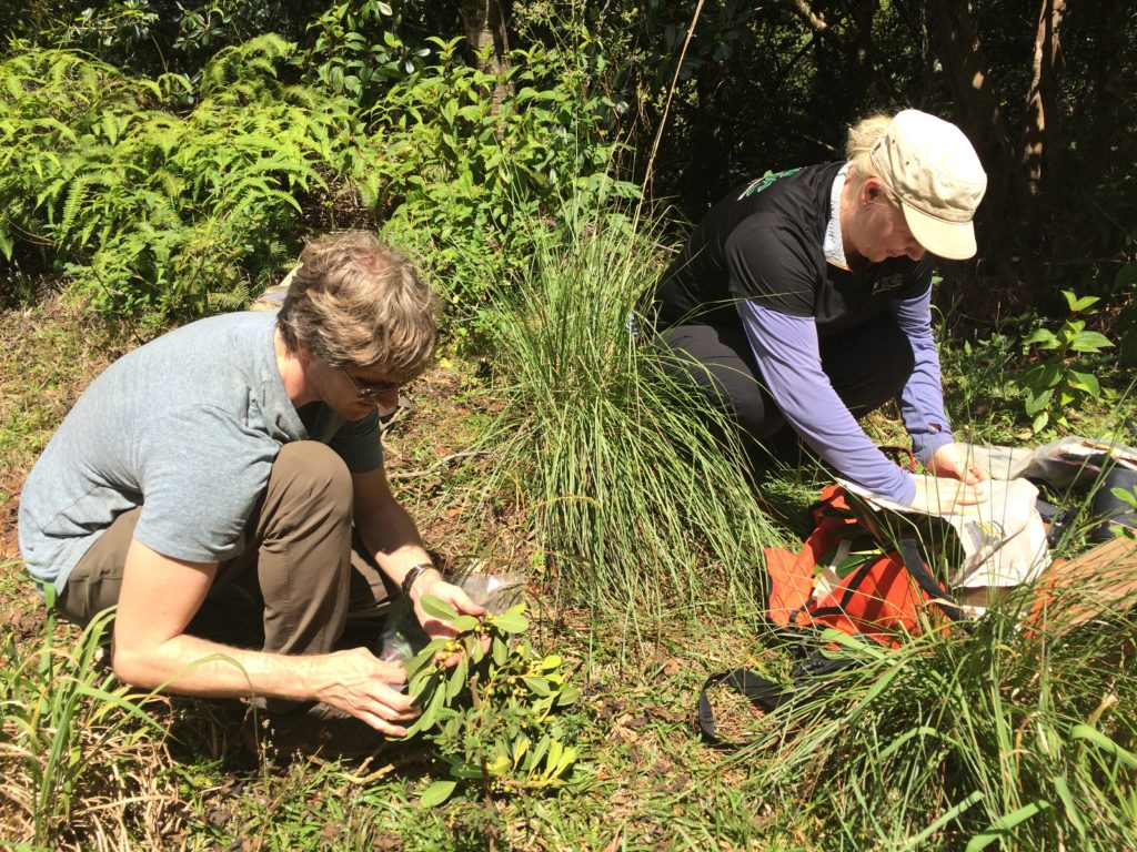 Jared Bernard (left) and Kelsey Brock collect figs during their study of fig wasp mutualism on Kauai. in the Lihue Koloa Forest Reserve. Photo by Seana Walsh